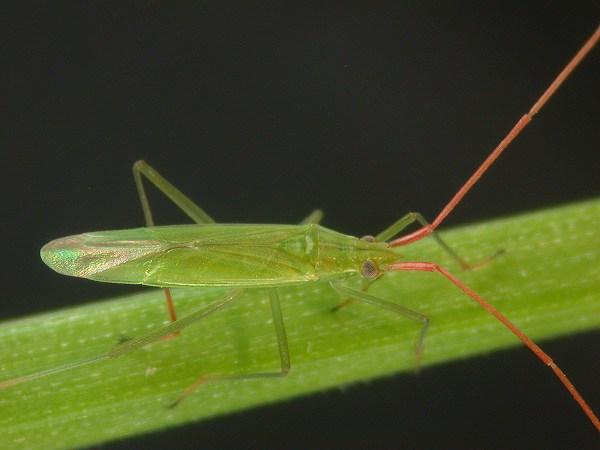 アカヒゲホソミドリカスミカメ 成虫
