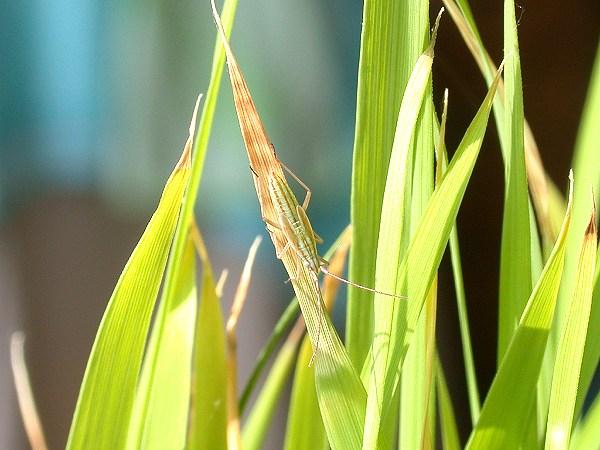 アカヒゲホソミドリカスミカメ 幼虫