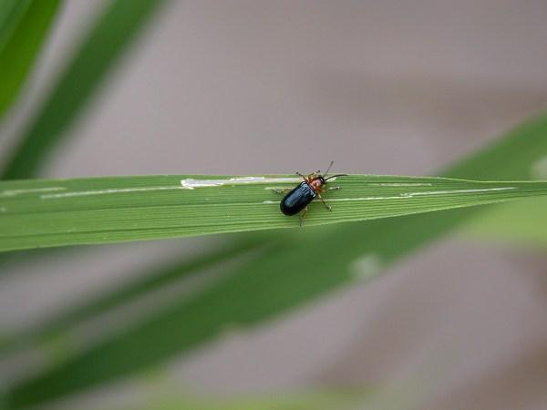 イネドロオイムシ成虫(イネクビホソナガハムシ)