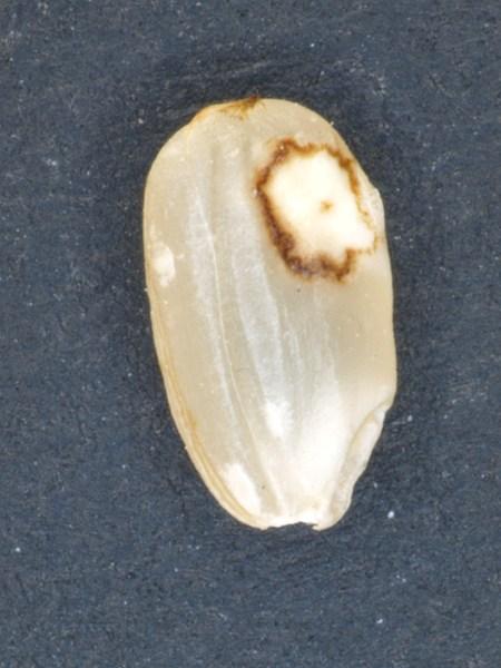 斑点米(鉤合部外被害)