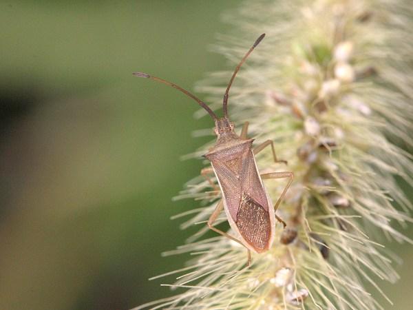 ホソハリカメムシ 成虫