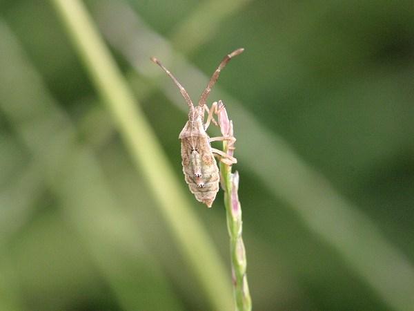 ホソハリカメムシ 幼虫
