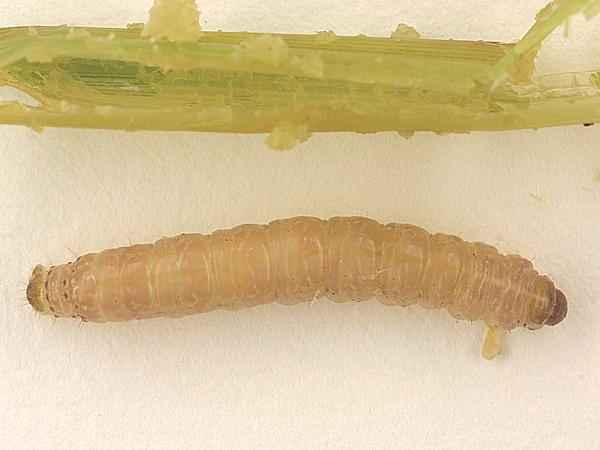 イネヨトウ 幼虫