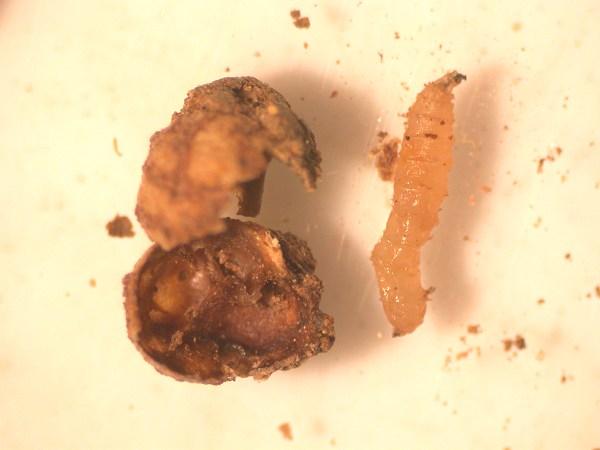 ダイズコンリュウバエ幼虫