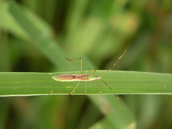 クモヘリカメムシ 成虫
