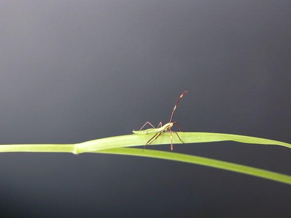 クモヘリカメムシ 幼虫