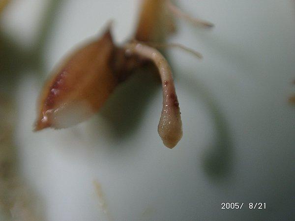 リゾープス属菌による苗立枯病