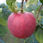 リンゴ長果25(シナノリップ)