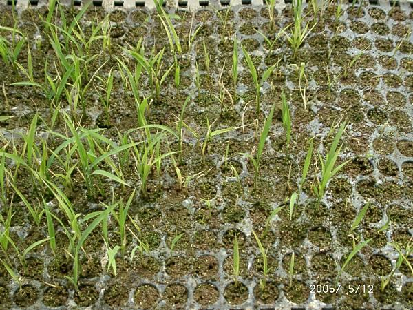 トリコデル属菌による苗立枯病
