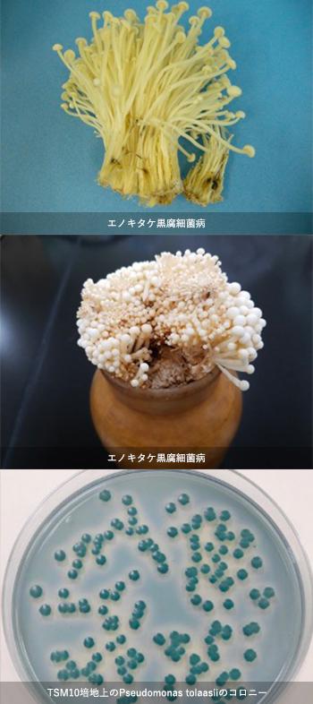 黒腐細菌病