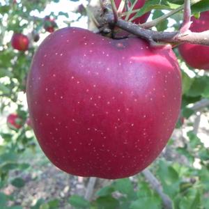 リンゴ長果34(キルトピンク)
